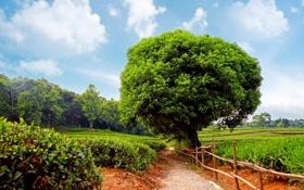 Обои дорожка, чайная, деревья, tea plantation, кустарники, Sunshine day, плантация
