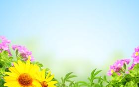 Обои подсолнухи, цветы, лепестки, розовые цветы