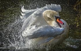Обои брызги, лебеди, splashes, Swan, шипун, mute