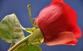 Обои небо, макро, роза, лепестки, бутон