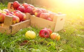 Картинка травка, ящики, спелые яблоки, сбор урожая