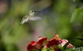 Картинка зелень, цветы, природа, птица, фокус, размытость, колибри