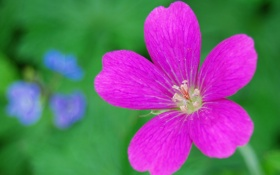 Обои природа, цветок, растение, лепестки, тычинки