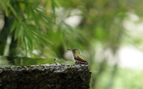 Картинка вода, природа, птица, камень, колибри