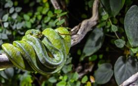Картинка листья, змея, ветка, питон