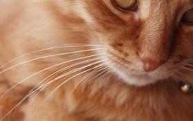 Картинка кот, котяра, кошак, усы