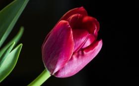 Обои цветок, фон, тюльпан, лепестки