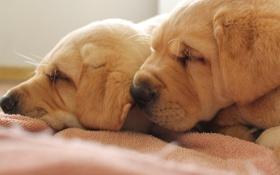 Обои собаки, уют, дом
