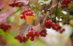 Обои калина, Viburnum, красная, ягоды