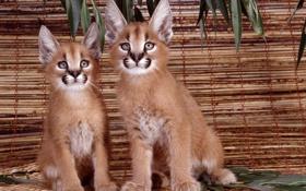 Картинка каракал, степная рысь, котята, дикая, кошка