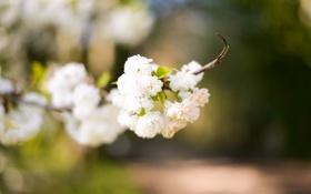 Обои цветы, ветка, лепестки, белые