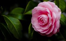 Обои листья, цветок, розовый, макро
