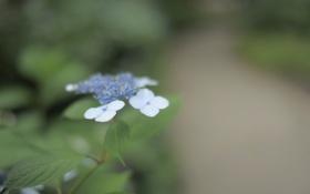 Картинка зелень, цветок, листья, макро, природа, голубой, нежность