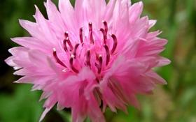 Обои цветок, розовый, лепестки, размытость, тычинки