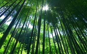 Обои растения, лес, зелень, Природа, бамбук