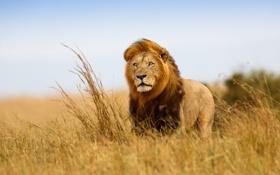 Обои взгляд, ветер, Лев, царь зверей, саванна, Африка, наблюдение