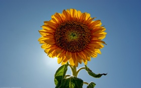 Обои подсолнухи, небо, фото, природа, макро, цветы