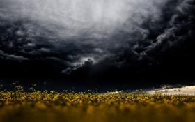 Обои цветы, буря, поле из золота, серые облака