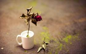 Картинка цветок, роза, чашка
