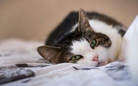 Картинка кошка, кот, черно-белый, лежит
