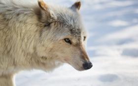 Картинка зима, морда, снег, волк, мех