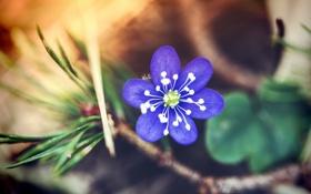 Обои цветок, лепестки, синие