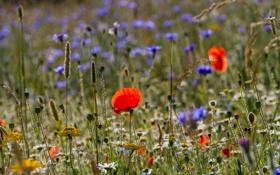 Картинка лето, трава, макро, цветы, мак, ромашка, луг