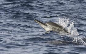 Обои брызги, море, волны, движение, дельфин