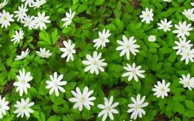 Картинка лес, белый, зеленый, весна, Подснежники