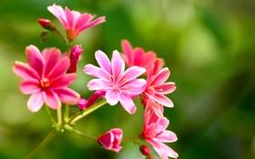 Обои растение, природа, соцветие, лепестки, макро