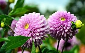 Картинка цветы, фото, розовый, бутон, два, георгины