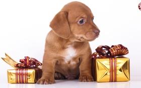 Обои подарки, щенок, белый фон