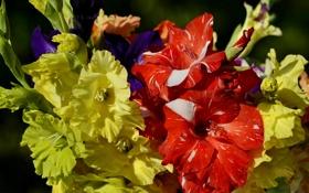 Обои фото, Цветы, Крупным планом, Гладиолусы