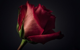 Картинка цветок, фон, роза, лепестки, красная
