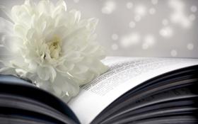 Картинка цветок, книга, белая, страницы, боке, хризантема