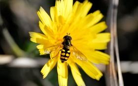 Обои насекомое, желтое, пчелка