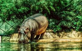 Обои животные, бегемот, бегемот в Берлинском зоопарке