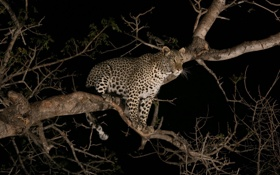 Обои ночь, хищник, леопард, дикая кошка, на дереве, молодой