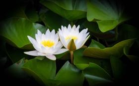Картинка цветение, листья, вода, водяные лилии