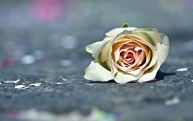 Обои цветок, макро, роза
