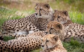 Картинка кошки, отдых, семья, гепард, гепарды