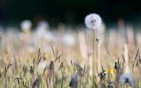 Картинка поле, природа, одуванчик