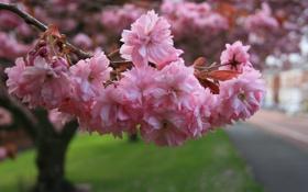 Обои макро, сакура, ветвь, цветение, розовые цветы