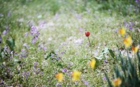 Обои трава, цветы, тюльпан