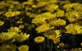 Картинка цветок, цветы, желтые, flower, вечеровский