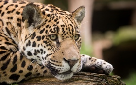 Картинка кошка, взгляд, морда, ягуар