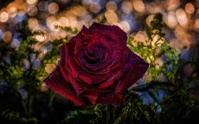 Картинка цветок, макро, роса, роза, hdr