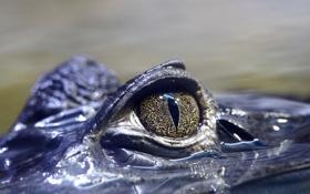 Обои природа, глаз, крокодил
