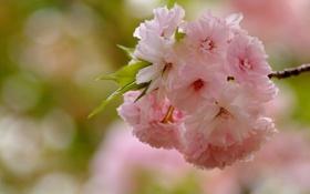 Картинка макро, ветка, сакура, цветение, соцветие
