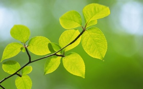 Картинка зелень, листья, макро, природа, green, цвет, ветка